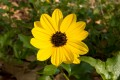 Helianthus debilis (Beach Dune Sunflower)